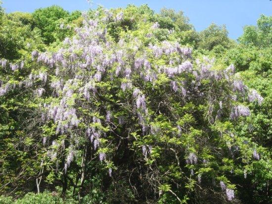 Katano, Japon : 山藤の花