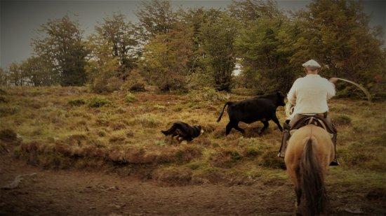 Punta Arenas, Chile: arreando al ganado junto a mi buen amigo güipe!!