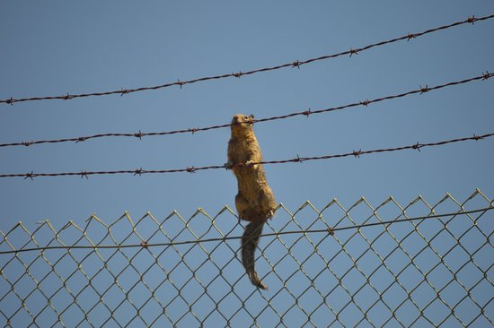 Winston, Oregón: This guy was hanging on the fence near the tigers!