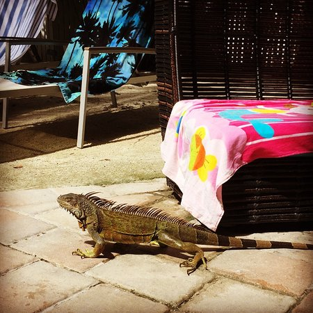 The Inn at Key West: Iguana ved poolen
