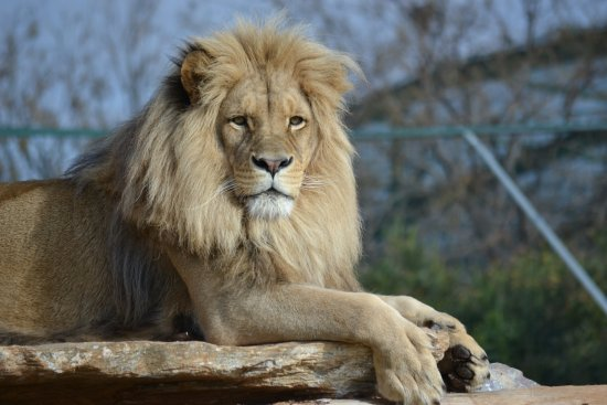 Spata, Grecia: lions at Attica Zoological Park