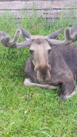 Orrviken, Zweden: Friendly Moose