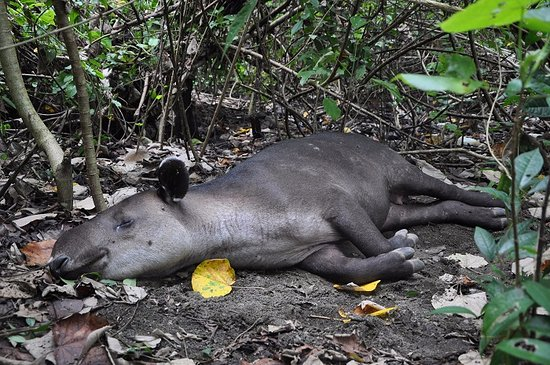 Drake Bay, Costa Rica: Tapir sleeping. This picture was taken at Sirena Station during a day tour in Corcovado.