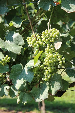 Lovingston, VA: We grow Petit Manseng right here on our property!