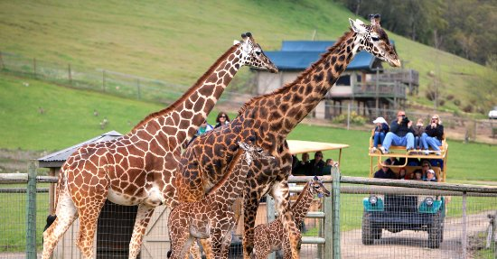 Santa Rosa, CA: Safari with Giraffes