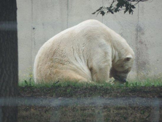 Ардеш, Франция: ours blanc