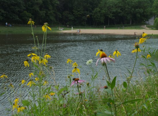 Troy, MO: Wildflowers along the lake at Cuivre River State Park