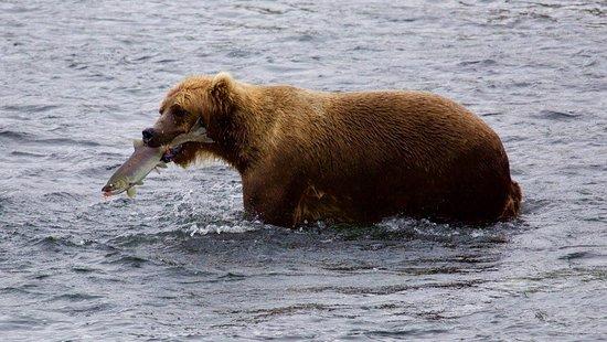 Kingfisher Aviation: Easy pickings for the bears at Frazer Lake!.