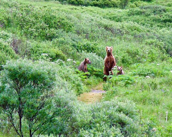 Kingfisher Aviation: Mother bear with cubs checking us out from the trail we're about to walk down.
