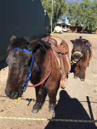 Emu Plains, Australia: Shetland Pony rides at markets