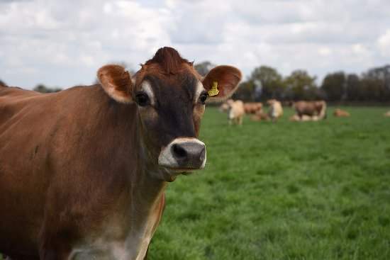 Lewes, UK: One of our girls from our Jersey Herd