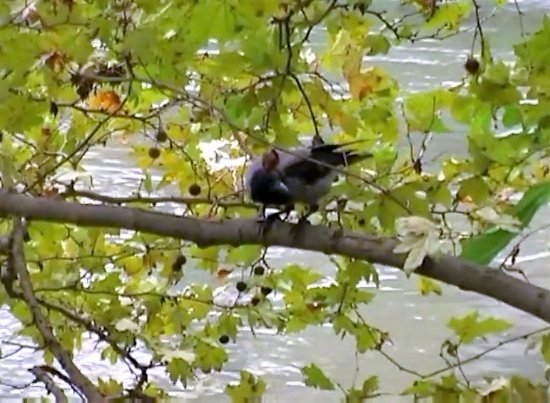 Fiume Tevere: River Tiber / Bird life