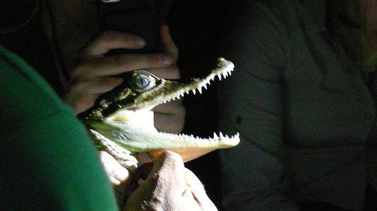 Amazon Turtle Lodge: aligator catching in nocturne trip
