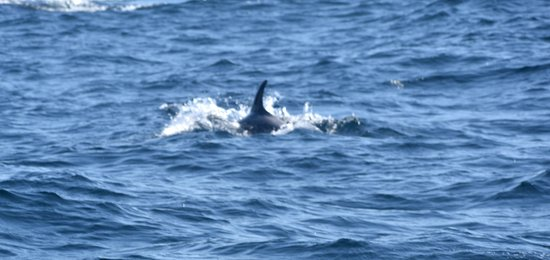 Conception Bay South, Канада: dolphin?