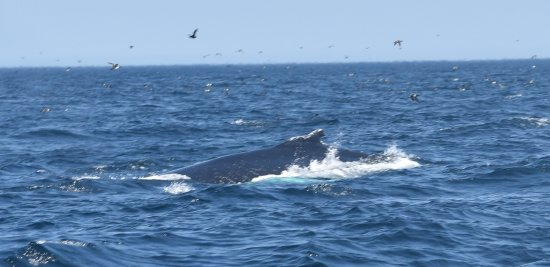 Conception Bay South, Канада: whale