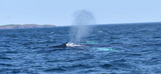 Conception Bay South, Канада: whale spout