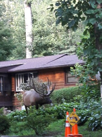 Country Cabins: Yesterday August 1, 2017 we were in the yard and this huge Elk decided to check out the Koi pond