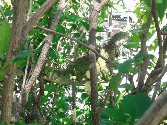 The Holiday Inn Express & Suites Marathon: Iguanas in the bushes!