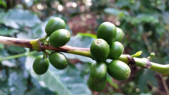 Boquete, Panama: Green coffee cherries