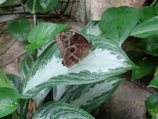 Sachs Butterfly House: Another butterfly.