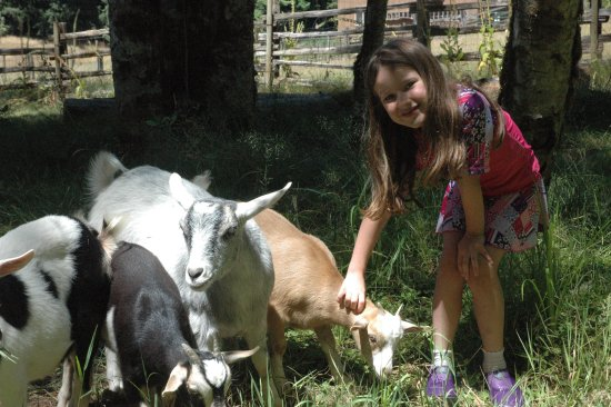Alsea, OR: The social goats interacting with a 6-year-old.