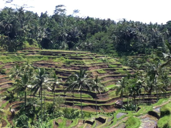 A1 picture of tegalalang rice terrace ubud for Tegalalang rice terrace ubud