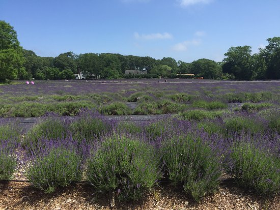 East Marion, Estado de Nueva York: Lavender Fields