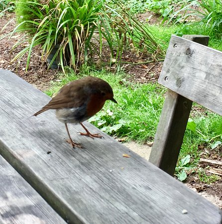 Titchwell, UK: A red robin who shared our lunch table