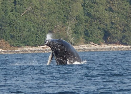 Humpback whale off the coast of Campbell River