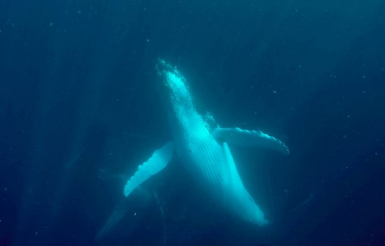 Kings Ningaloo Reef Tours Exmouth: Wow! Such an incredible experience swimming with the Humpback whales.