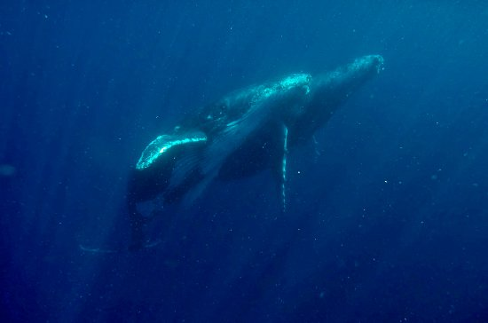 Kings Ningaloo Reef Tours Exmouth: Would you like to swim with a Humpback Whales? We have the license to swim with them in August.