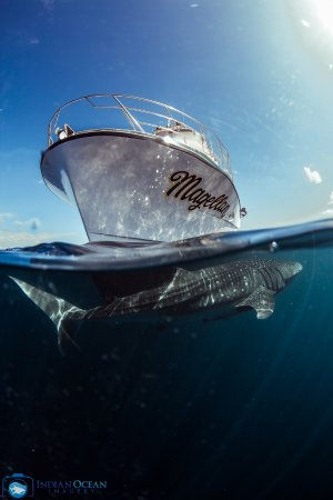 Kings Ningaloo Reef Tours Exmouth: Whale Shaks Circling our boat is a very nice treat for swimmers and observers.