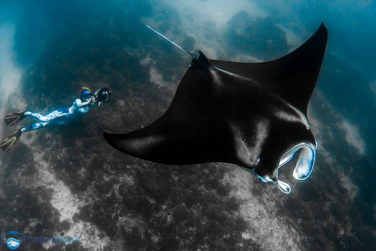Kings Ningaloo Reef Tours Exmouth: Magestic Manta Rays on the back of the reef. Truly mesmerising to watch..