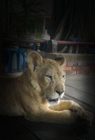 Nakhon Pathom, Thailand: สิงโตน่ารักมาก