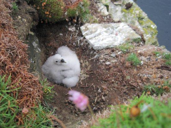 Mainland, UK: Fulmar Chick