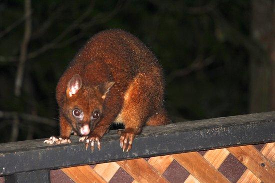 Atherton, Australia: Large Possum on our deck