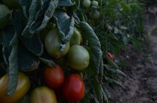 Sant'Angelo in Vado, Italy: homegrown heirloom tomatoes