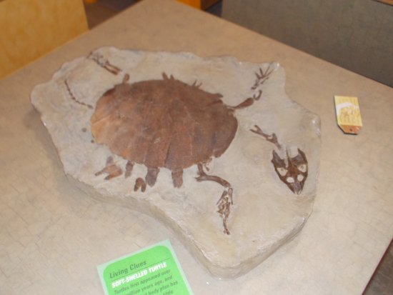 T. Rex Discovery Centre: Turtle Fossil