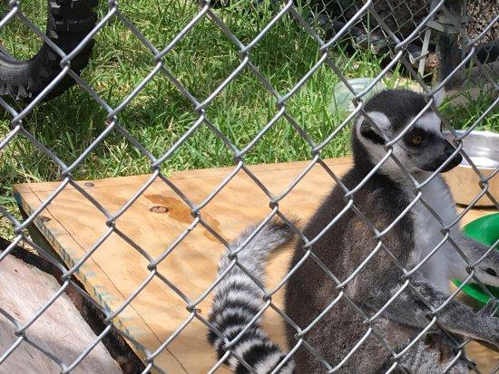 Wylie, TX: Cute lemurs came a few years ago....very playful