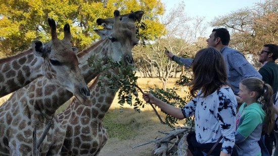 هراري, زيمبابوي: Hand feeding the giraffes