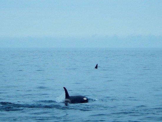 Alaska Fjord Charters: Orcas feeding