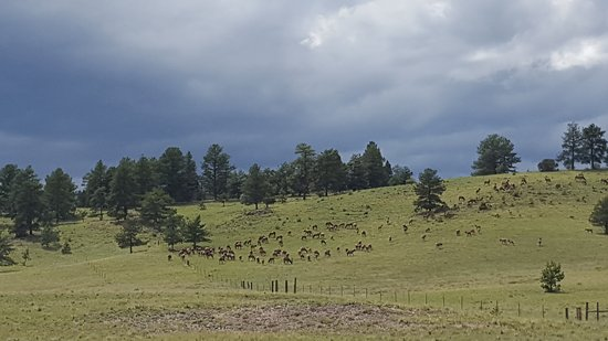Florissant, CO: Elk herd sighting
