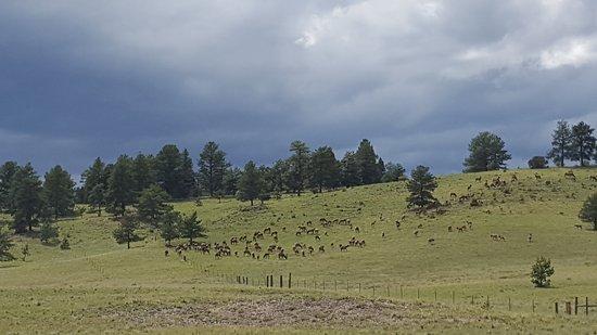 Florissant, Колорадо: Elk herd sighting