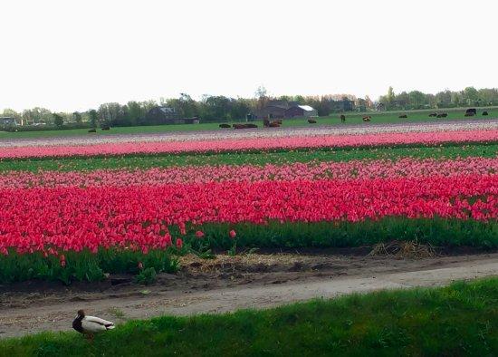 Kerkdriel, Nederland: Tullip field