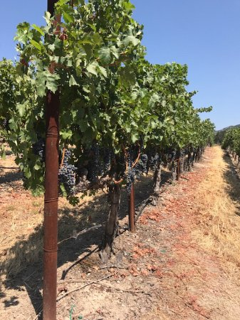 William Hill Estate Winery: Almost ready to harvest