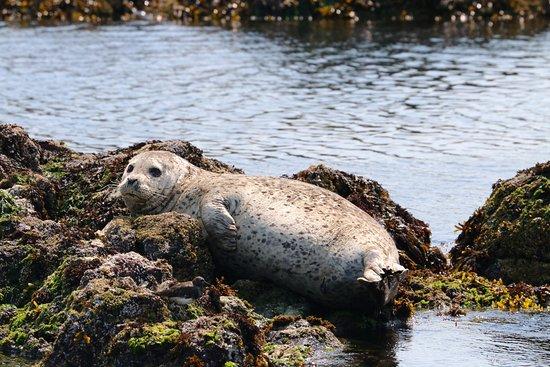 Archipelago Wildlife Cruises: Harbour seal
