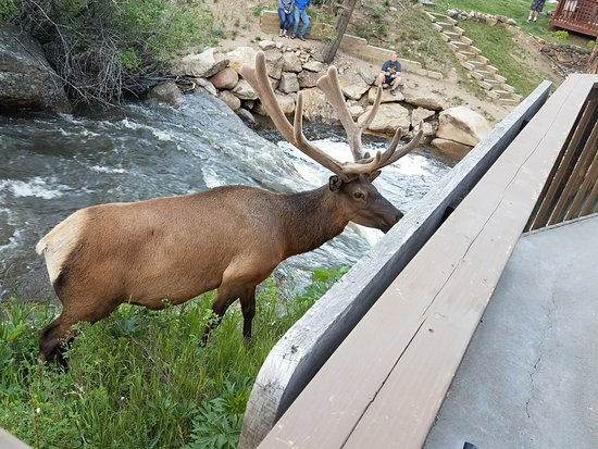Ponderosa Lodge: Elk right off our balcony