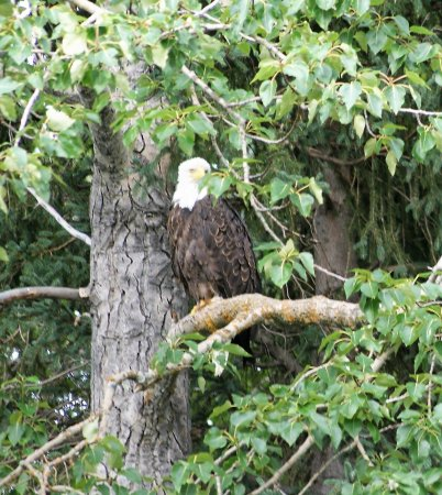 Alaska River Adventures - Day Tours: We saw so many of these Bold Eagles, great trip!!!!