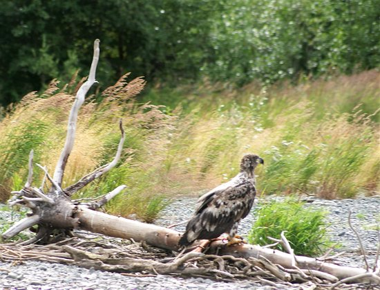 Alaska River Adventures - Day Tours: I never seen a young Bold Eagle until today.