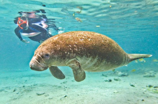 Crystal River Manatee Snorkeling and...